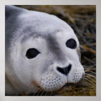 Poster dulce de la cría de foca