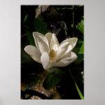 Poster dulce del flor de la magnolia