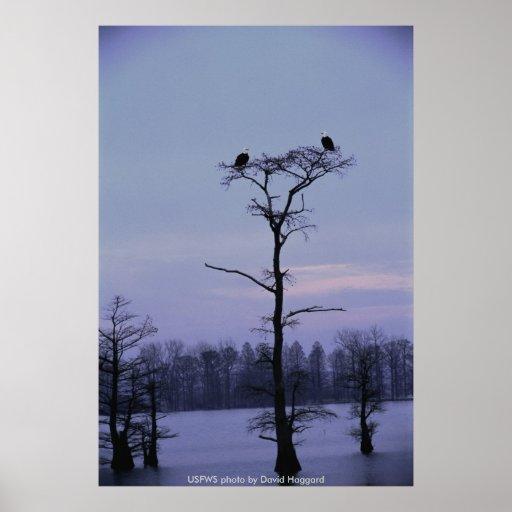 Poster/Eagles calvo en Reelfoot NWR