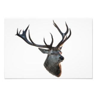 Póster: El ciervo de rojo! Impresion Fotografica