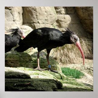 Poster emplumado negro del pájaro de Waldrapp Ibis