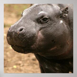 Poster enano del hipopótamo