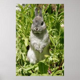 Poster enano gris de Netherland del conejo de cone