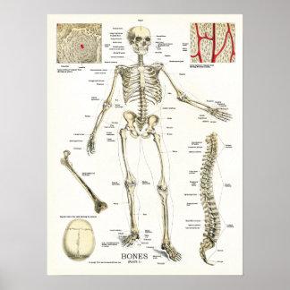 Poster esquelético humano de la anatomía