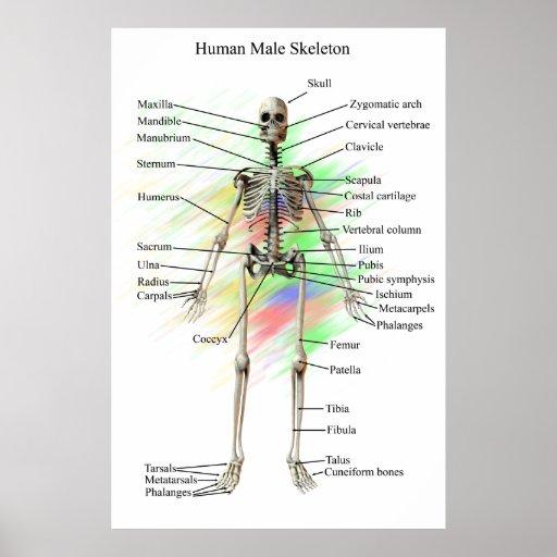 Poster esquelético masculino humano