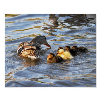 Poster: Female Mallard Duck and Ducklings Poster