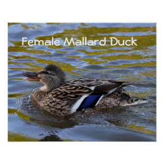 Poster: Female Mallard Duck Poster