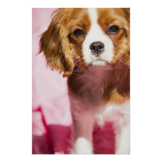 Poster femenino del perro de aguas de rey Charles