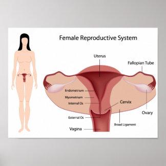Poster femenino del sistema reproductivo