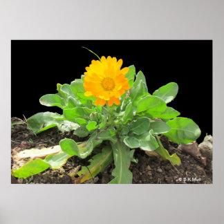 Poster - flor del Calendula