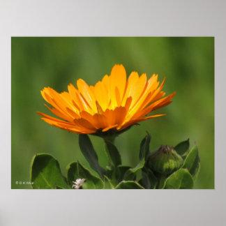 Poster - floración de Calendual