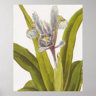 Poster floral botánico del vintage; Iris