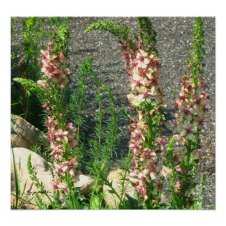 Poster - Foxtail Lily in Cranberry and Pink