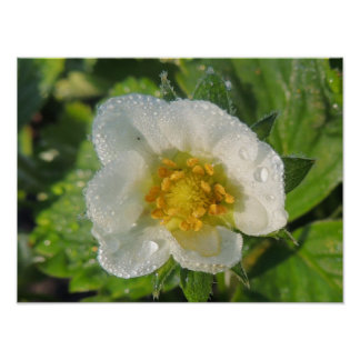 """Poster """"Fragaria, flower of strawberry plant """""""