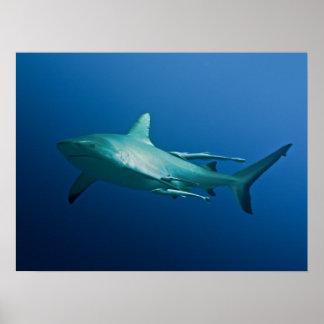 Poster fresco del tiburón del filón