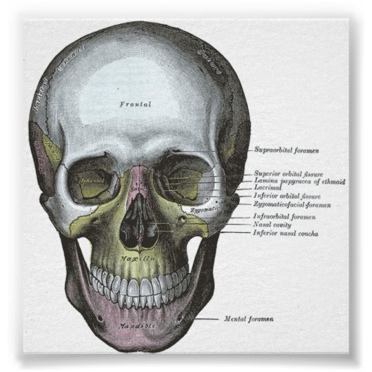 Poster--Frontal View of the Skull Poster