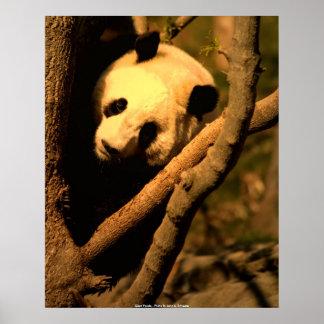 POSTER  Giant Panda, Giant Panda - Photo ...