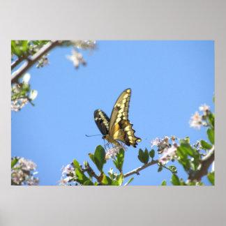Poster gigante de la mariposa de Swallowtail