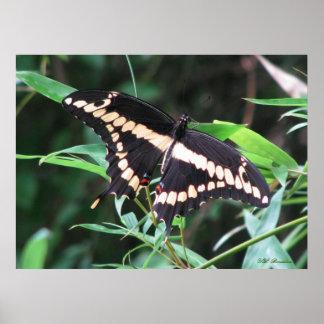 Poster gigante de Swallowtail