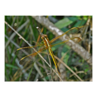 Poster Golden Meadowhawk (Sympetrum) Dragonfly