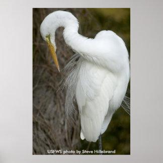 Poster / Great Egret Preening