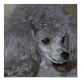 Poster gris del caniche