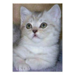 Poster gris del gatito