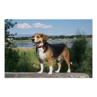 Poster Handsome Beagle By Lake - Cooper Hound