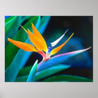 Poster hermoso de la ave del paraíso de Hawaii
