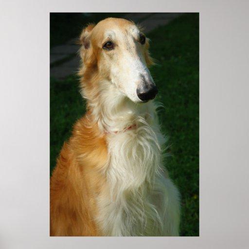 Poster hermoso de la foto del perro del Borzoi, im