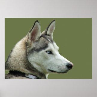 Poster hermoso de la foto del perro siberiano forn
