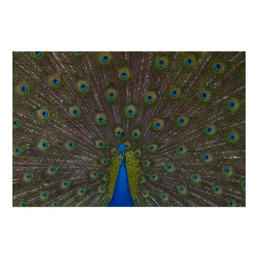 Poster hermoso del pavo real