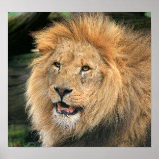 poster hermoso principal de la foto del león, impr