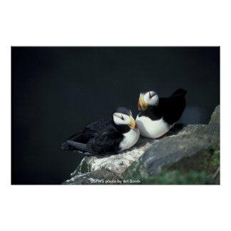 Poster / Horned Puffin Pair