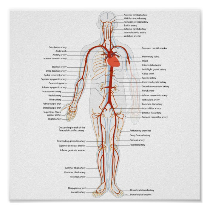 human circulatory system diagram poster human circulatory system of arteries zazzle com  human circulatory system of arteries