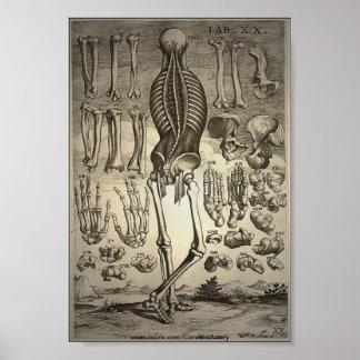 Poster humano 1741 del esqueleto Ca