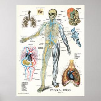 Poster humano 18 x 24 de la anatomía de los pulmon