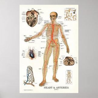 Poster humano 24 x 36 de la anatomía del corazón y