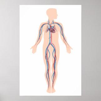 Poster humano del sistema de la circulación