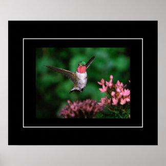 Poster-Hummingbird