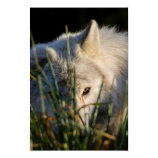 Poster/impresión canadienses del lobo de madera