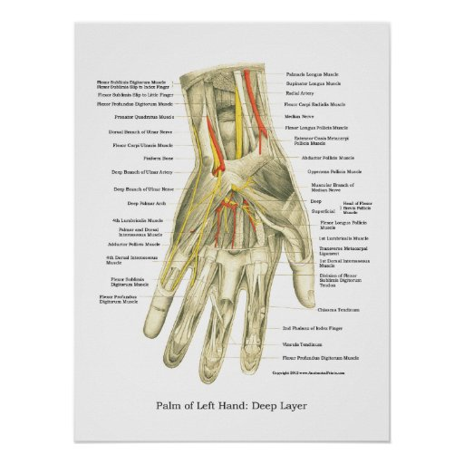 Poster interno de la anatomía de la mano y de la m