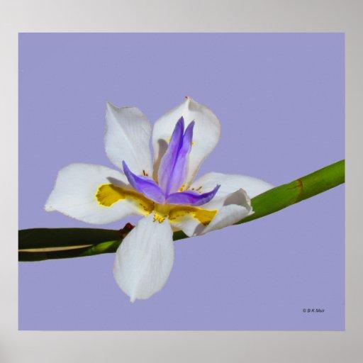 Poster - iris - quincena Lilly