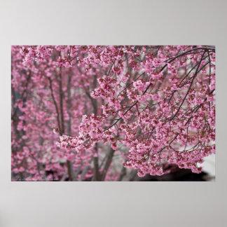Poster japonés rosado de las flores de cerezo que