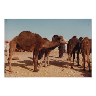 Poster justo del camello