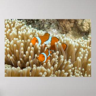 Poster lindo de Clownfish