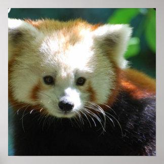 Poster lindo de la panda roja