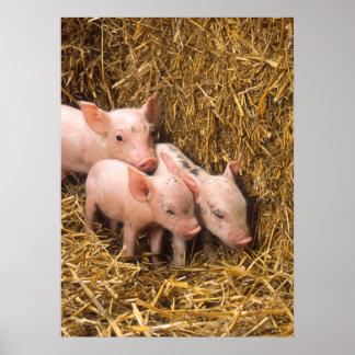 Poster lindo de los cerdos