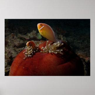 Poster lindo de los clownfish