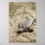 Poster / Loggerhead Sea Turtle Hatchling